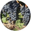 Cabernet grapes on the vine at Denier-Handal Wines