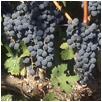 Cabernet grapes on the vine at Denier-Handal Wines